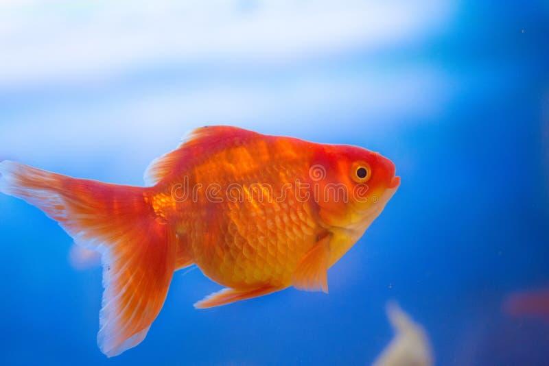 Pescados de agua dulce del acuario, pez de colores de Asia en el acuario, auratus del carassius foto de archivo libre de regalías