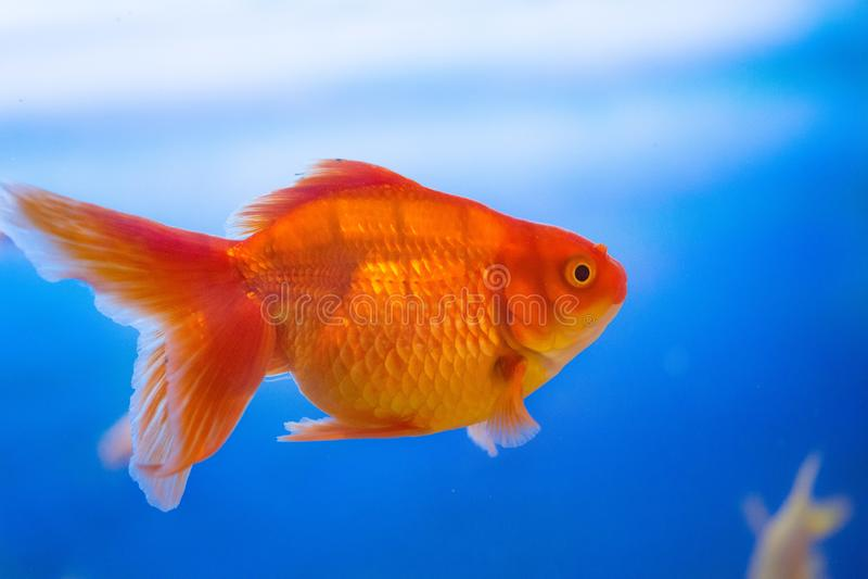 Pescados de agua dulce del acuario, pez de colores de Asia en el acuario, auratus del carassius fotos de archivo