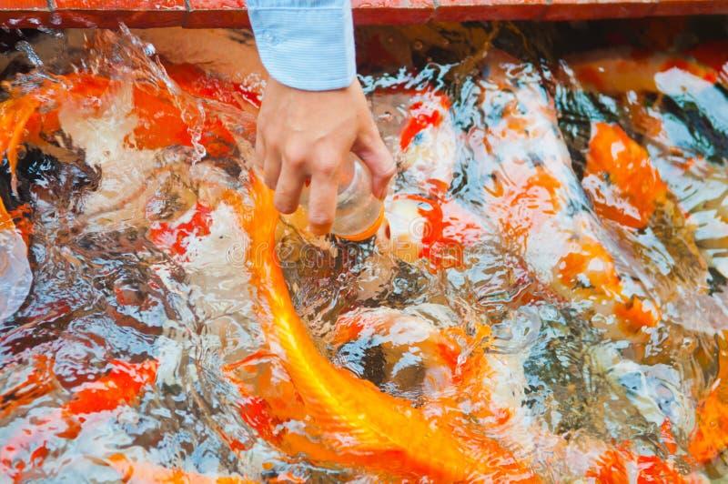 Pescados de alimentación de Koi con la botella de leche fotografía de archivo libre de regalías