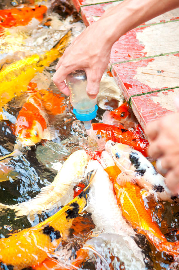 Pescados de alimentación de Koi con la botella de leche foto de archivo