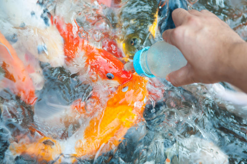 Pescados de alimentación de Koi con la botella de leche imagenes de archivo