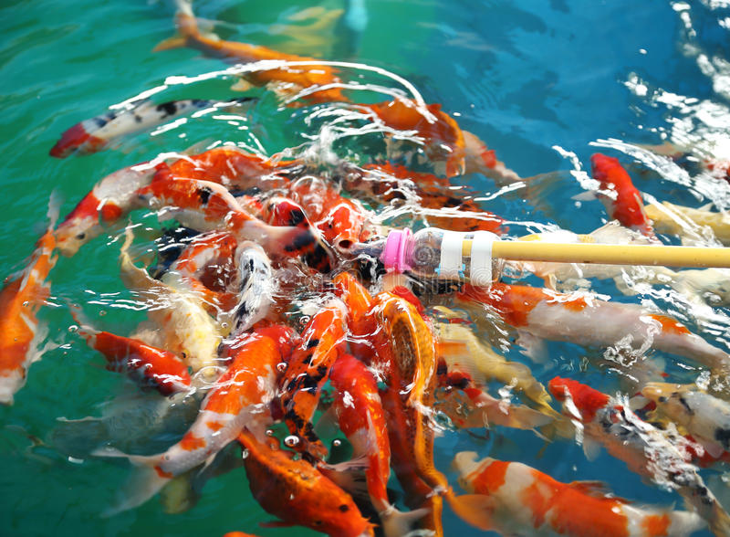 Pescados de alimentación de Koi con la botella de leche fotografía de archivo