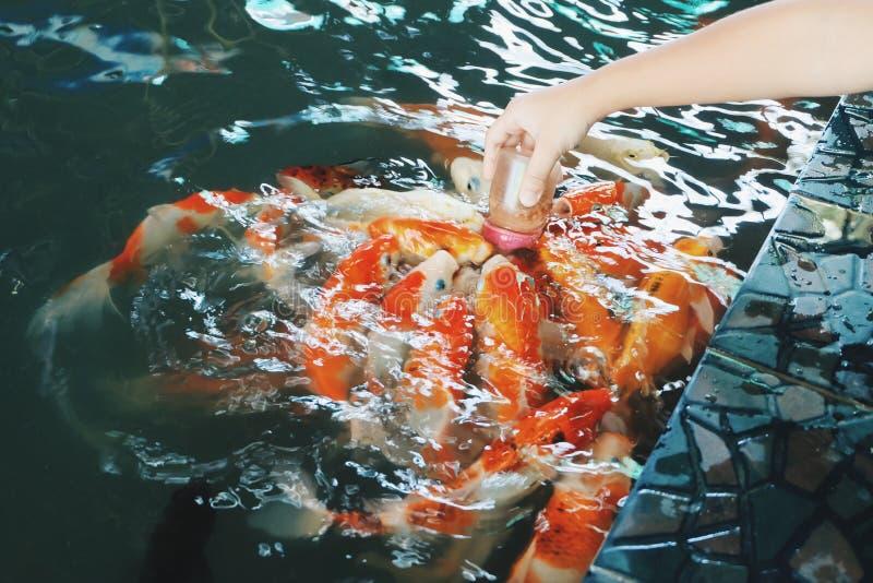 Pescados de alimentación de la carpa imágenes de archivo libres de regalías