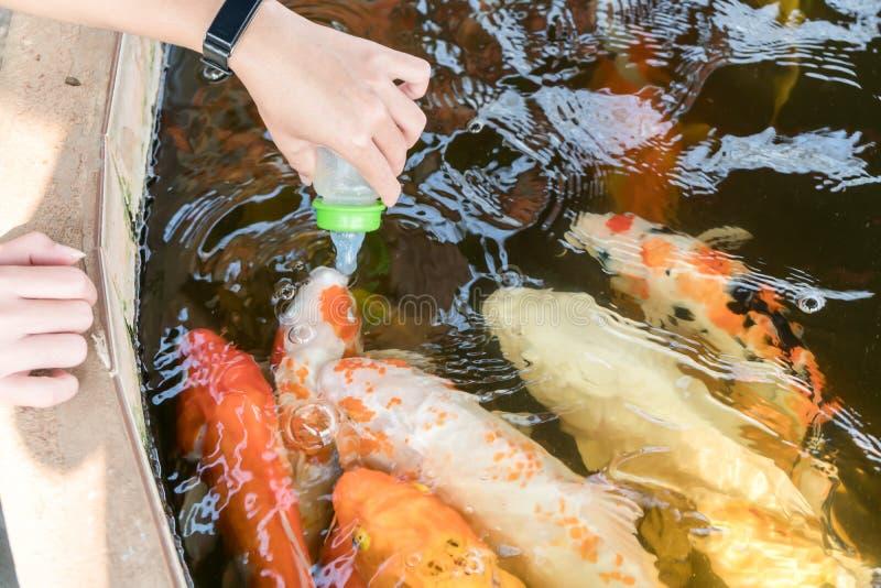 Pescados de alimentación de la carpa con leche fresca fotos de archivo