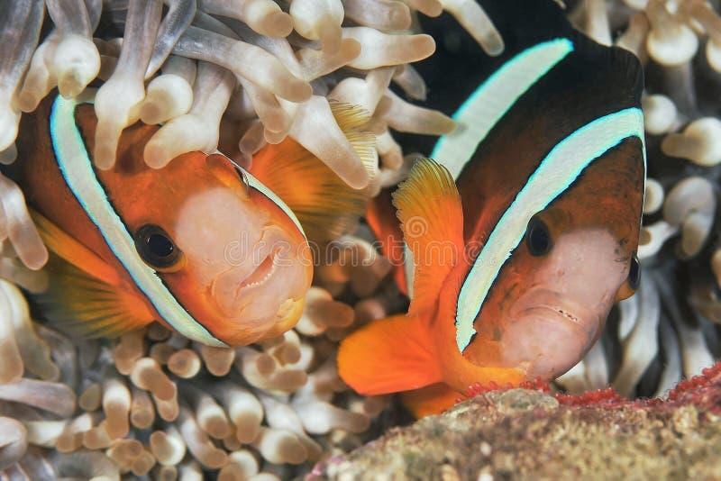 Pescados de anémona fotografía de archivo