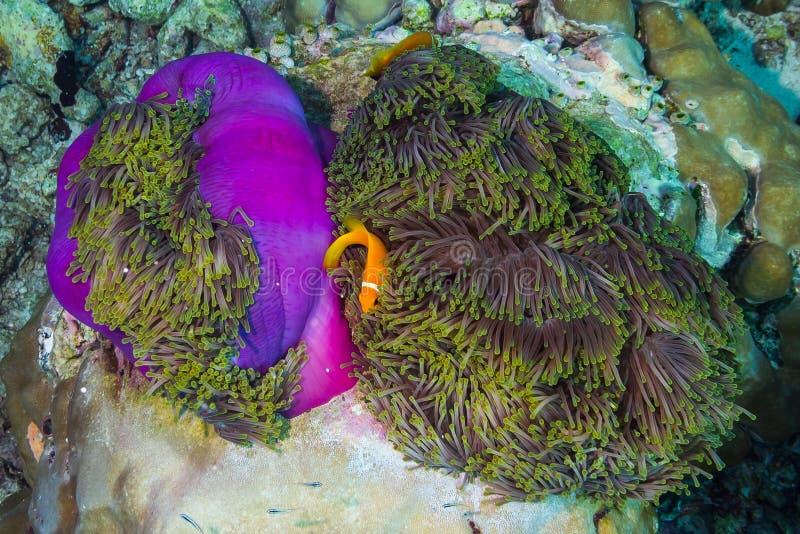 Pescados de anémona maldivos imagen de archivo libre de regalías