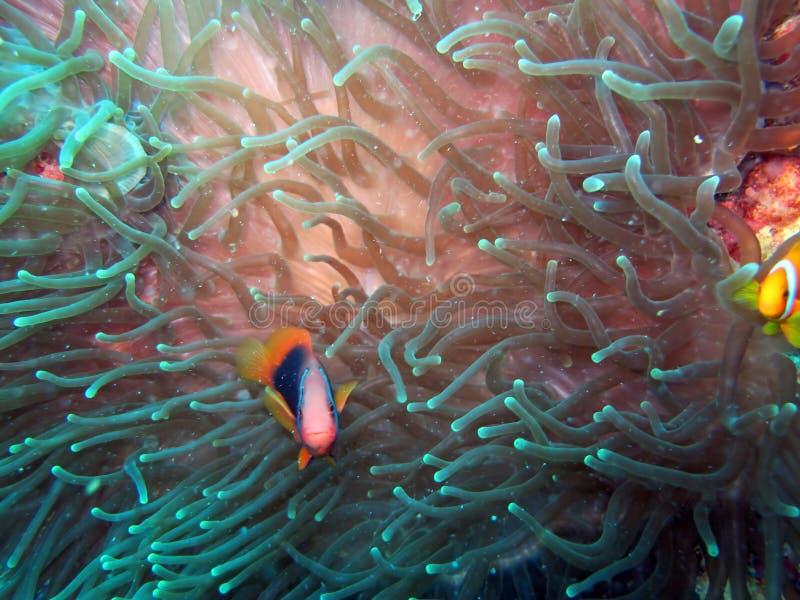 Pescados de Anemonefish o del payaso fotos de archivo libres de regalías
