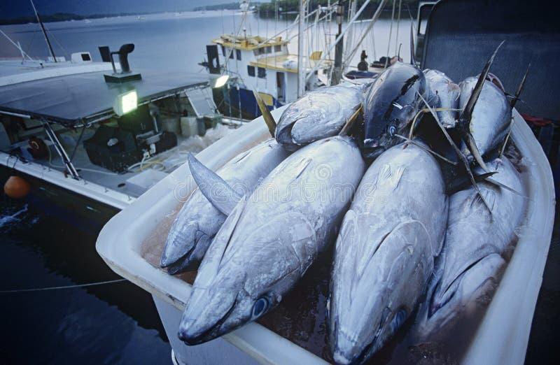 Pescados de atún en envase en los mojones Australia del amanecer del barco de pesca imagenes de archivo