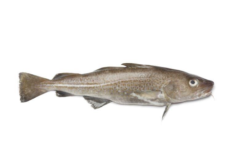 Pescados de bacalao atlántico frescos foto de archivo