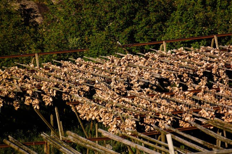 Pescados de bacalao de sequía en el pueblo de A, Moskenesoya, Lofoten, Noruega foto de archivo libre de regalías