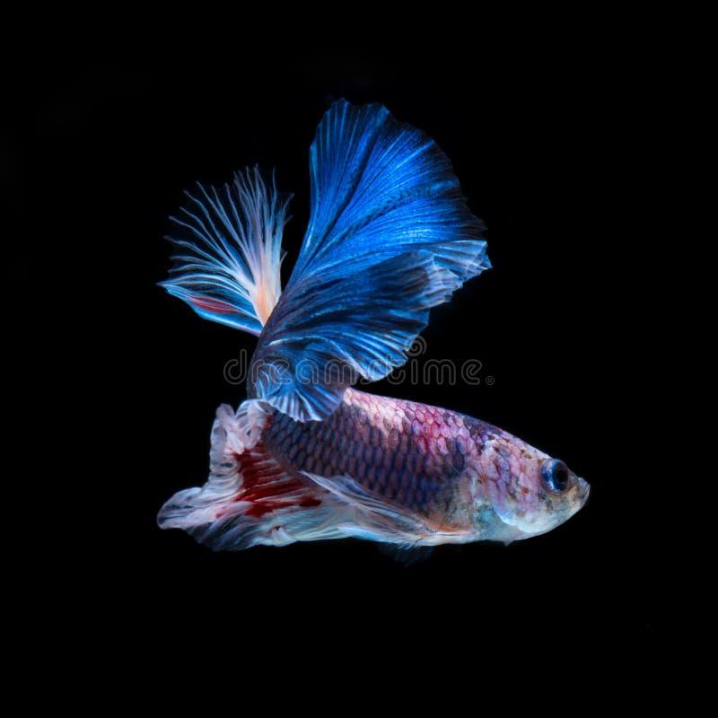 Pescados de Betta Capture el momento móvil de fighti siamés rojo-azul imágenes de archivo libres de regalías