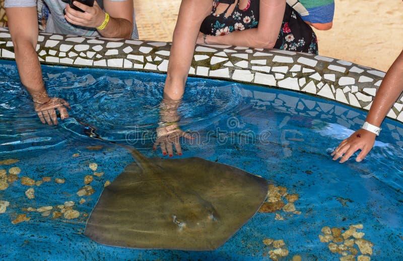 Pescados de caricia de la raza de la gente en el tanque de Tamar del proyecto en el Praia hacer Forte en el Brasil foto de archivo libre de regalías