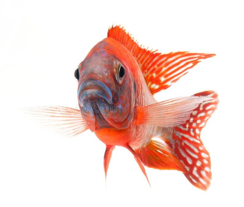 Pescados de cichlid rojos, pescados rojos de rubíes del pavo real fotos de archivo