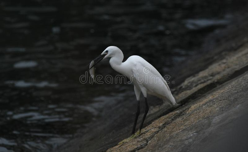 Pescados de cogida del pájaro de la garceta como presa imagen de archivo