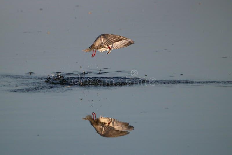 Pescados de cogida del pájaro patilludo de la golondrina de mar imagen de archivo libre de regalías