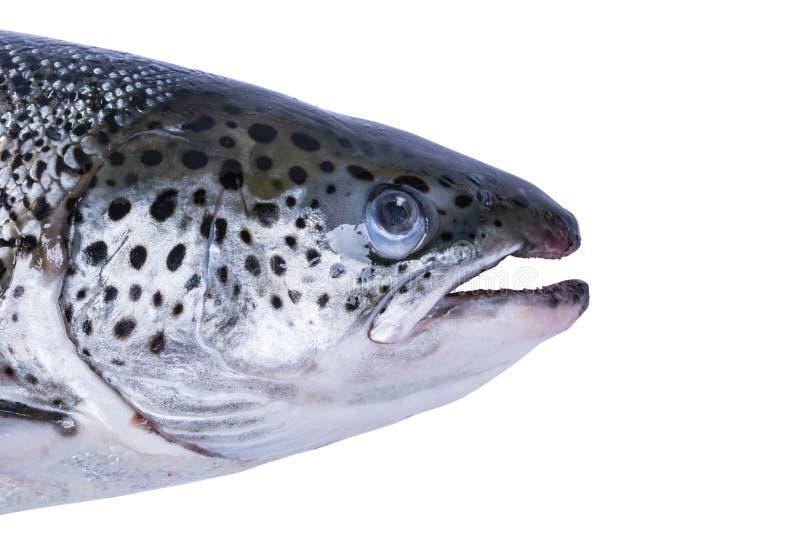Pescados de color salmón aislados en el fondo blanco Salmones salvajes frescos aislados en un blanco Salmones enteros frescos Esp foto de archivo libre de regalías