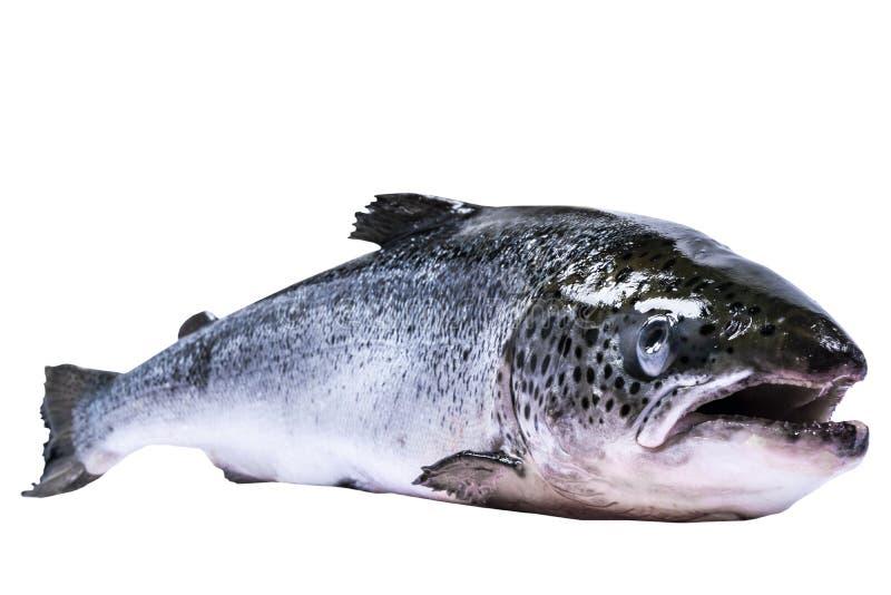 Pescados de color salmón aislados en el fondo blanco Salmones salvajes frescos aislados en un blanco Salmones enteros frescos Esp fotografía de archivo