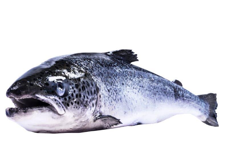 Pescados de color salmón aislados en el fondo blanco Salmones salvajes frescos aislados en un blanco Salmones enteros frescos Esp foto de archivo