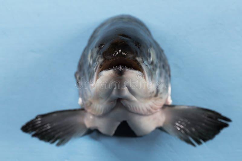 Pescados de color salmón que saltan de corriente a la mosca de la captura fotografía de archivo