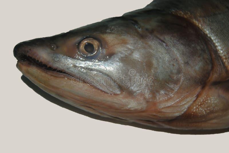 Pescados de color salm?n aislados del jorobado realista imagen de archivo