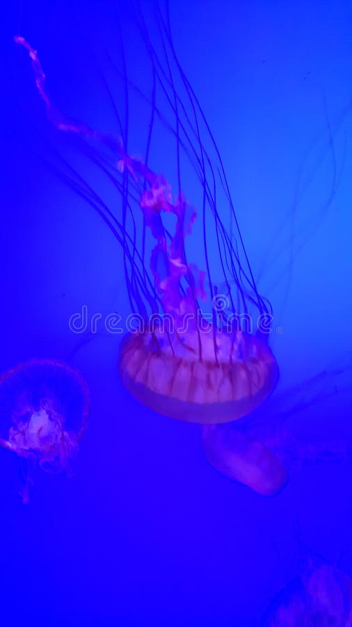 Pescados de jalea del rojo azul imágenes de archivo libres de regalías