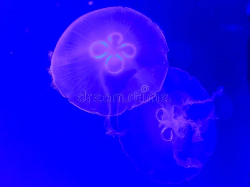 Pescados de jalea fluorescentes fotografía de archivo