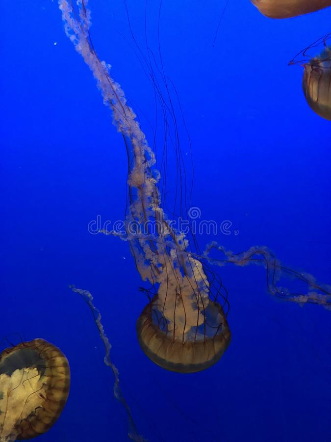 Pescados de jalea que nadan junto foto de archivo libre de regalías