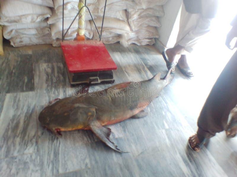 pescados de 40 kilogramos fotos de archivo libres de regalías
