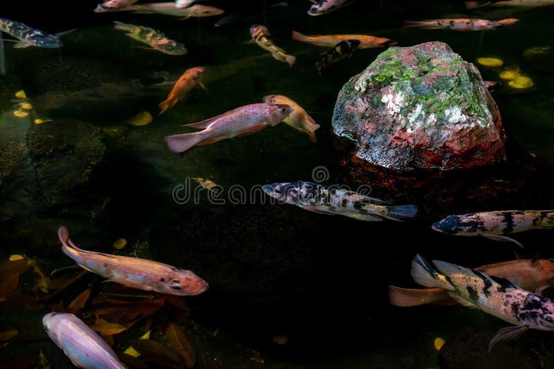 Pescados de Koi imagen de archivo libre de regalías