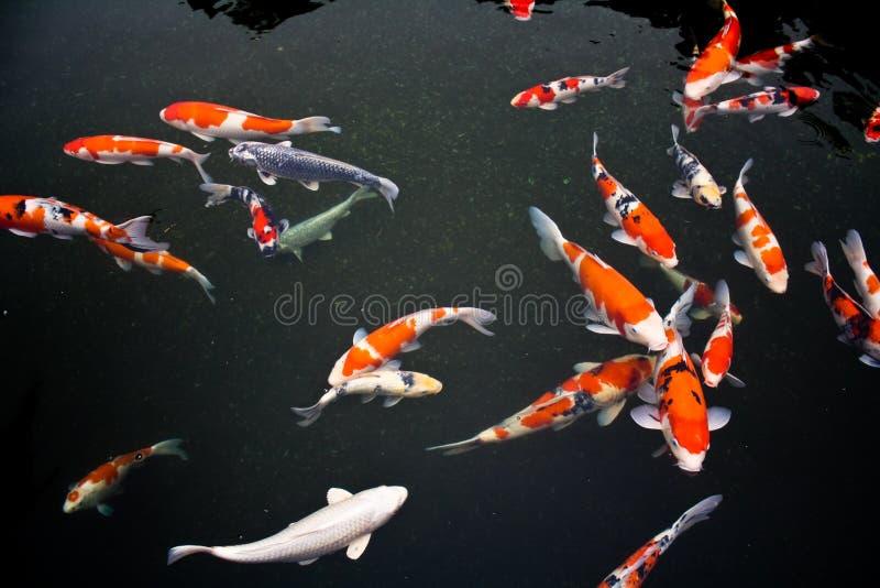Pescados de Koi fotografía de archivo