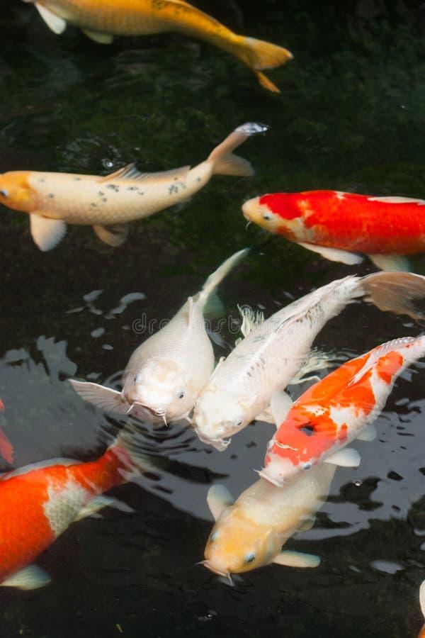 Download Pescados de Koi imagen de archivo. Imagen de nadada, animal - 41919667