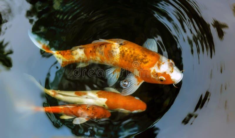 Pescados de Koi fotos de archivo libres de regalías