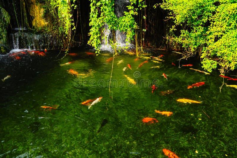 Pescados de Koi en la charca fotografía de archivo libre de regalías