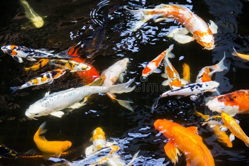 Pescados de Koi en la charca imagenes de archivo