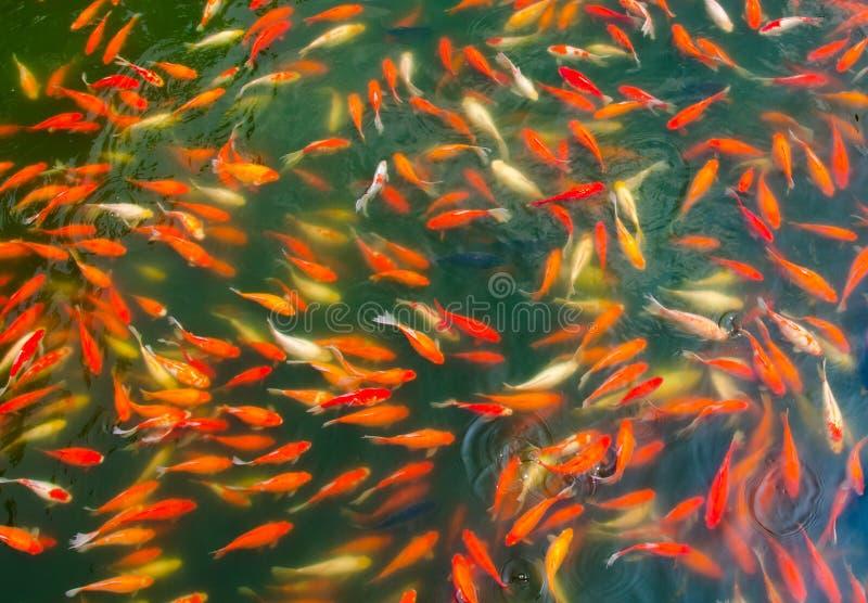 Pescados de Koi en una charca imagenes de archivo
