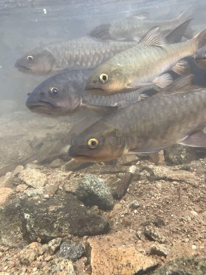 Pescados de la caída del agua foto de archivo