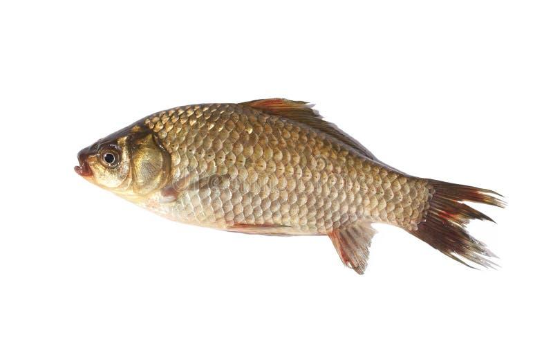 Pescados de la carpa de Crucian en el fondo blanco foto de archivo