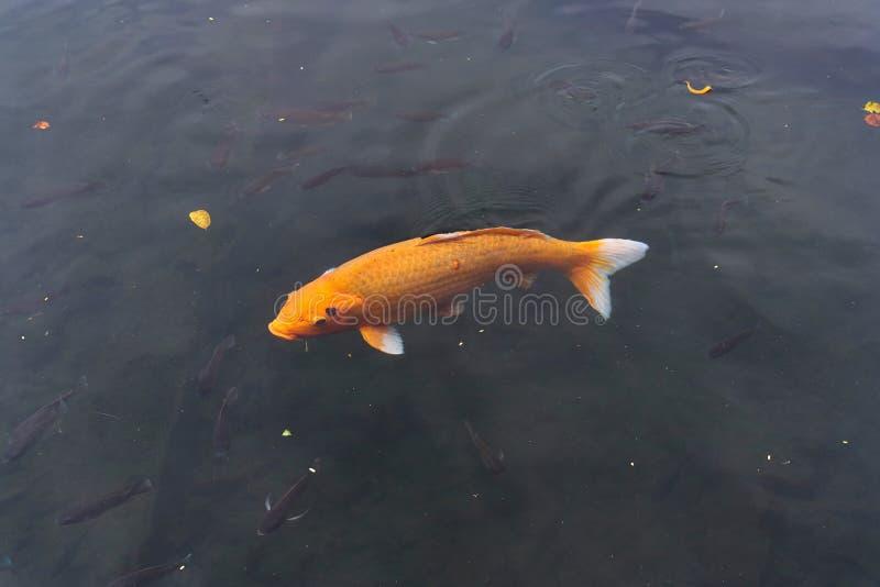 Pescados de la carpa de Koi en una charca imagen de archivo libre de regalías