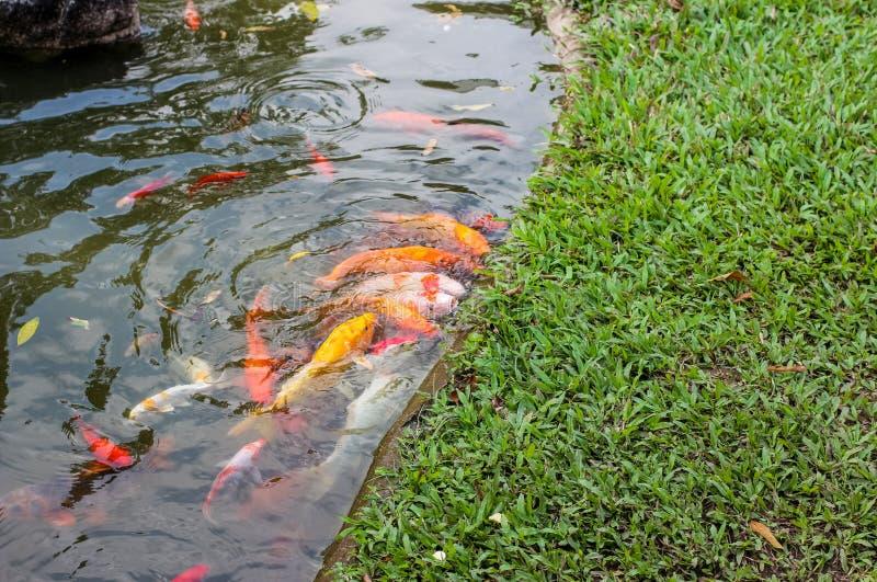Pescados de la carpa de Koi que nadan en un agua Natación de oro de los pescados en la charca fotos de archivo