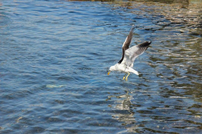 Pescados de la caza de la gaviota imagen de archivo