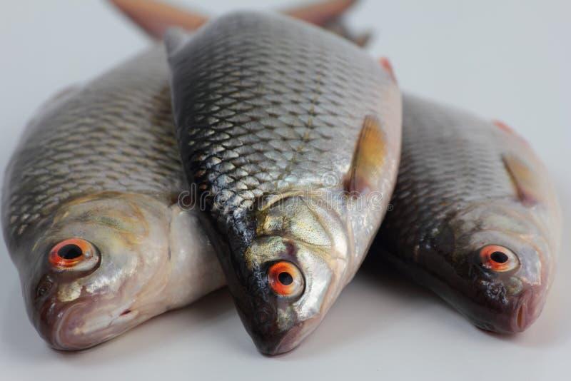 Pescados de la cucaracha foto de archivo