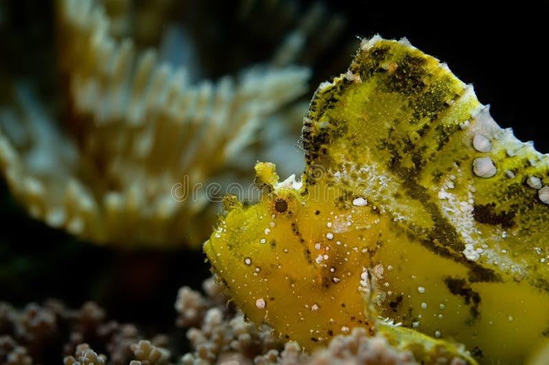 Pescados de la hoja en el filón. Indonesia Sulawesi fotos de archivo libres de regalías