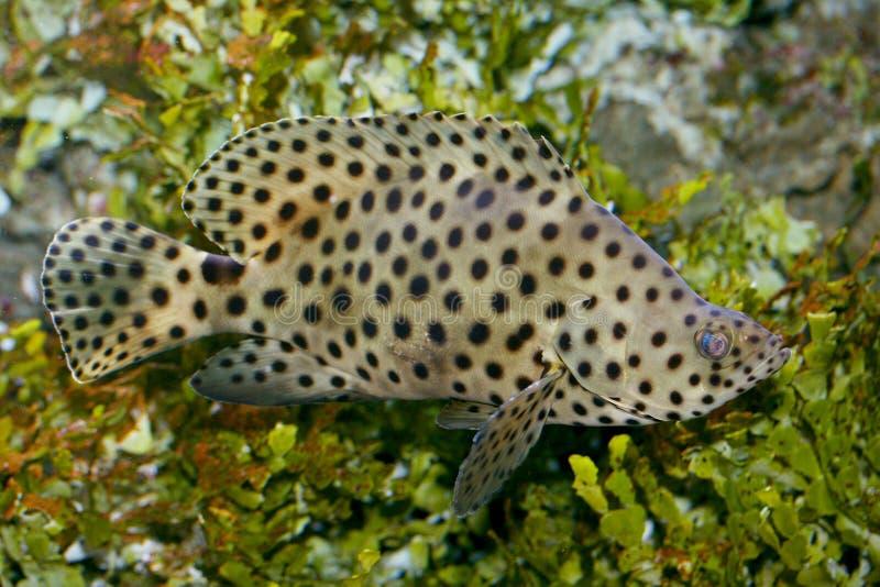 Pescados de la pantera (altivelis de Cromileptes) imagen de archivo libre de regalías
