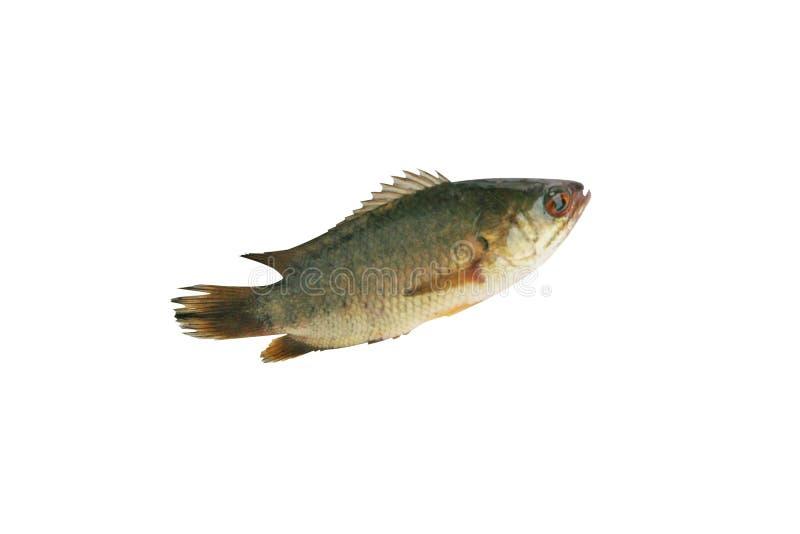 Pescados de la perca que suben, pescados de agua dulce aislados en el fondo blanco imagen de archivo