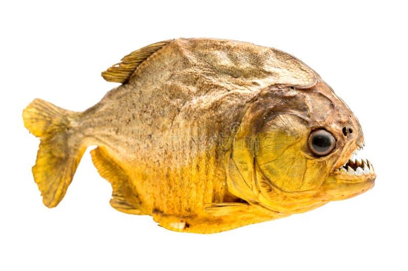 Pescados de la piraña en aislado imagen de archivo