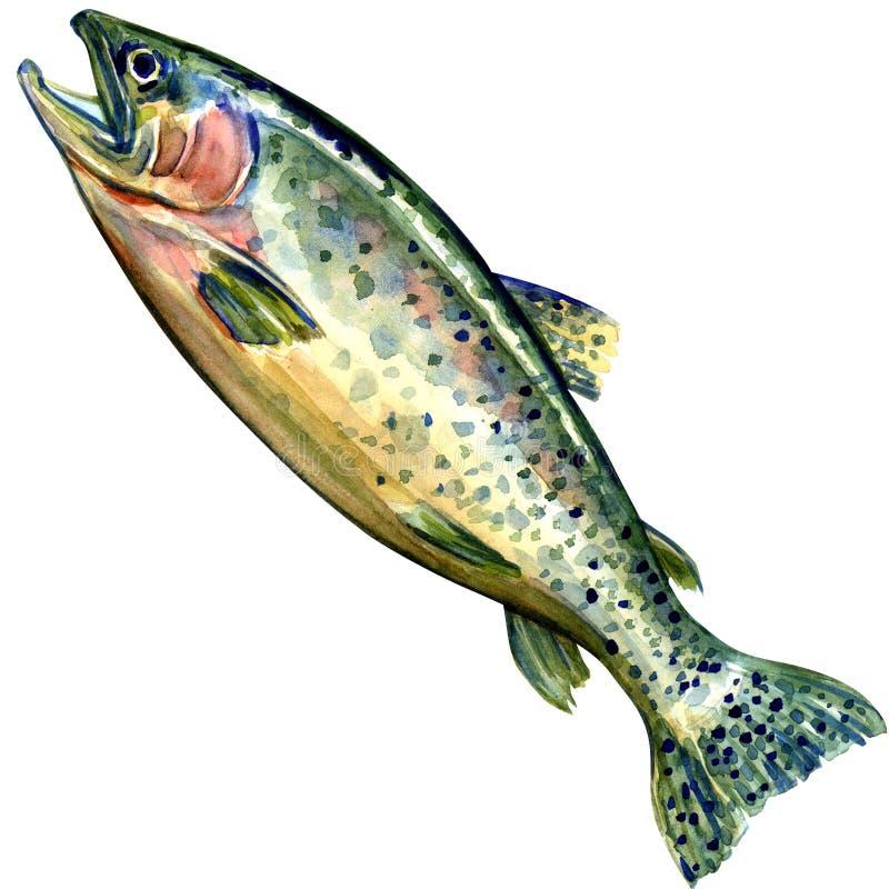 Pescados de los salmones de Coho en el fondo blanco stock de ilustración
