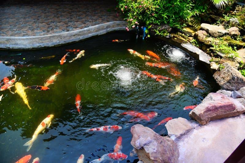Pescados de lujo coloridos del koi en el agua superficial - la carpa hermosa de los pescados que nada en el jardín de la charca d fotos de archivo libres de regalías