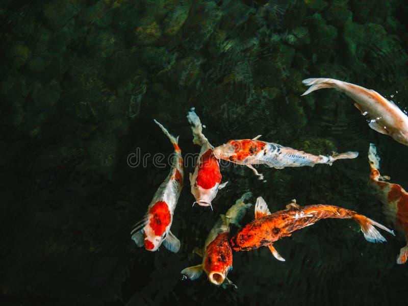 Pescados de lujo coloridos de la carpa, pescados del koi, pescados japoneses imagen de archivo