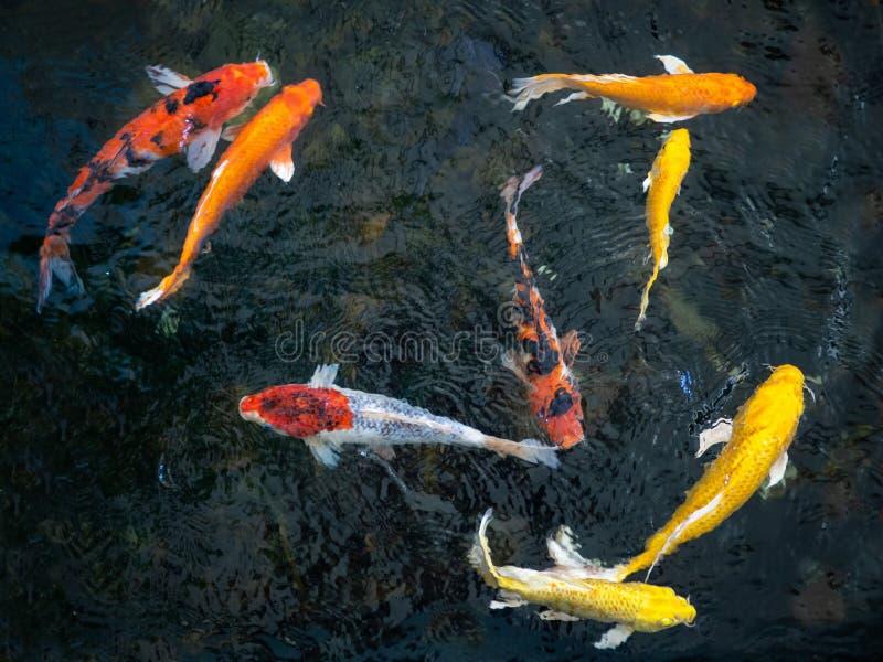 Pescados de lujo coloridos de la carpa, pescados del koi, orgánico natural japonés de las variaciones hermosas del color de Carpi imagen de archivo