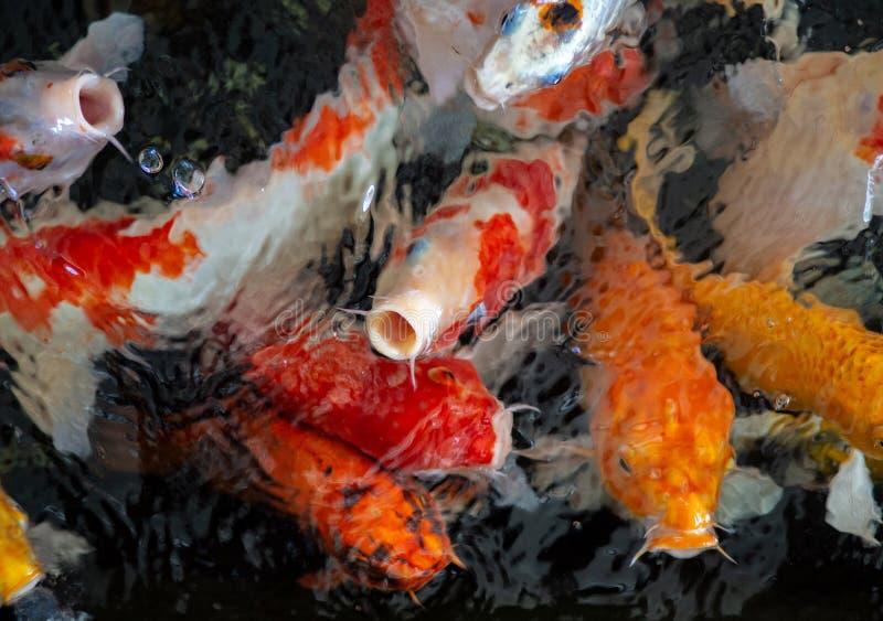 Pescados de lujo coloridos de la carpa, pescados del koi, orgánico natural japonés de las variaciones hermosas del color de Carpi fotos de archivo libres de regalías